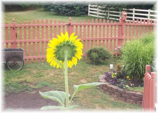 Super-size sunflower 7/15/12