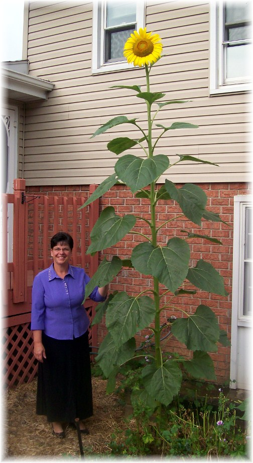 Super-size sunflower 7/15/12