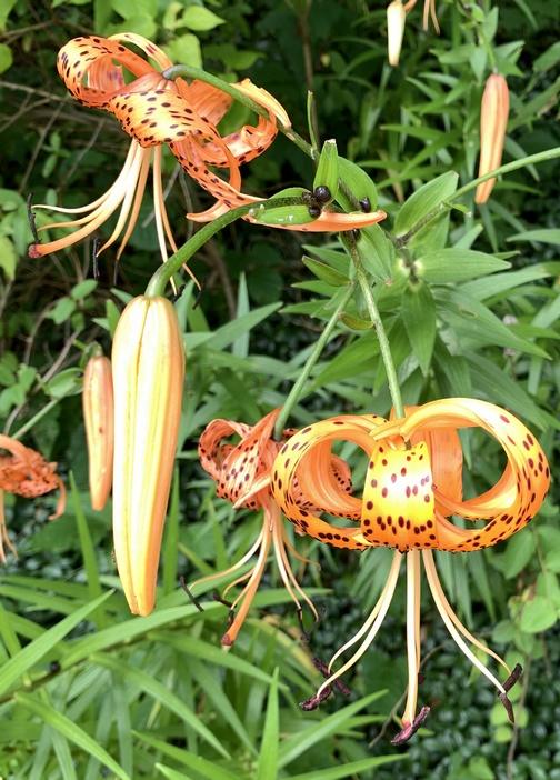 Tiger lily flower on Swatara Rail trail 7/28/20