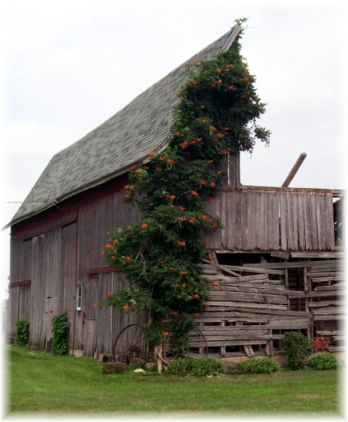 Trumpet vine on Indiana barn 8/4/12