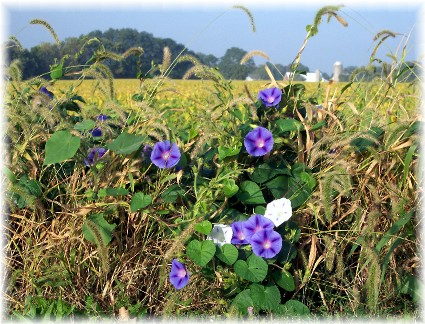Volunteer morning glories