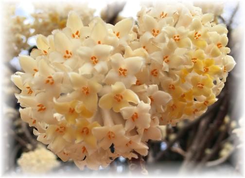 Washington mystery blossoms 3/25/16