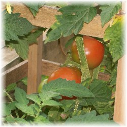 First tomatoes 2009