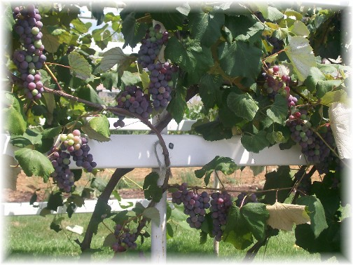 Grapes on vine on Amish farm
