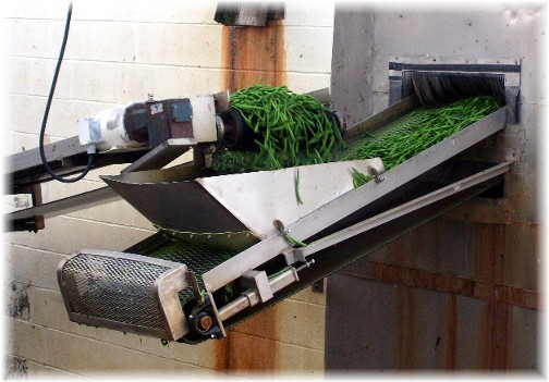 Green beans on conveyor