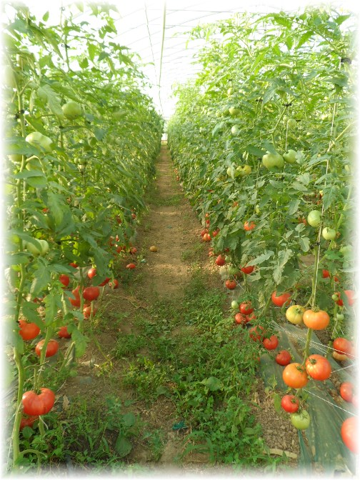 Greenhouse tomatoes 6/3/13