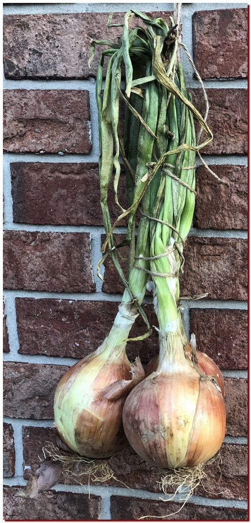Onions 7/12/19