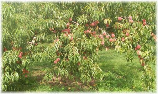 Peach harvest 2012