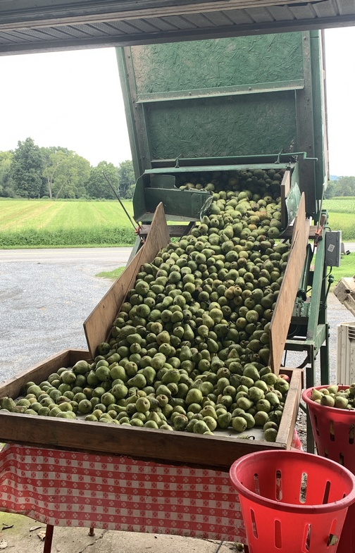 Pear harvest in Lancaster County