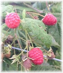 Berries in Lebanon Trail Garden 8/28/15