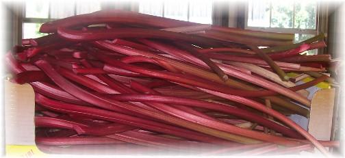 Freshly cut rhubarb stalks