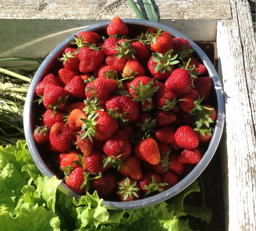 Fresh strawberries 6/4/14