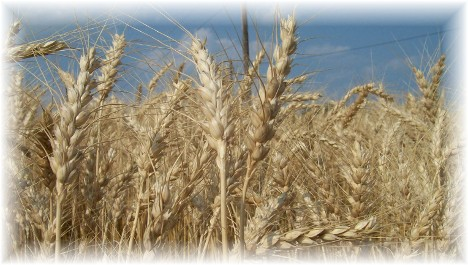 Wheat ready for harvest