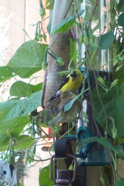 Photo of Gold finches feeding each other