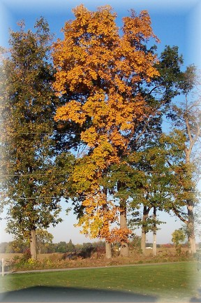 Photo of Ash tree in autumn