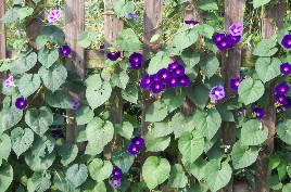 Hidden morning glories