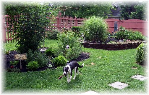 "Mollie in backyard ready to ""fetch"" 6/22/11"