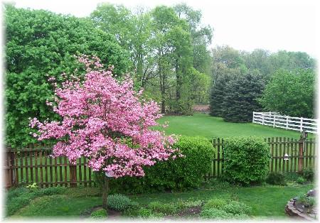 Backyard dogwood
