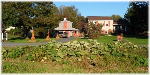 Neck pumpkins growing along Kraybill Church Road