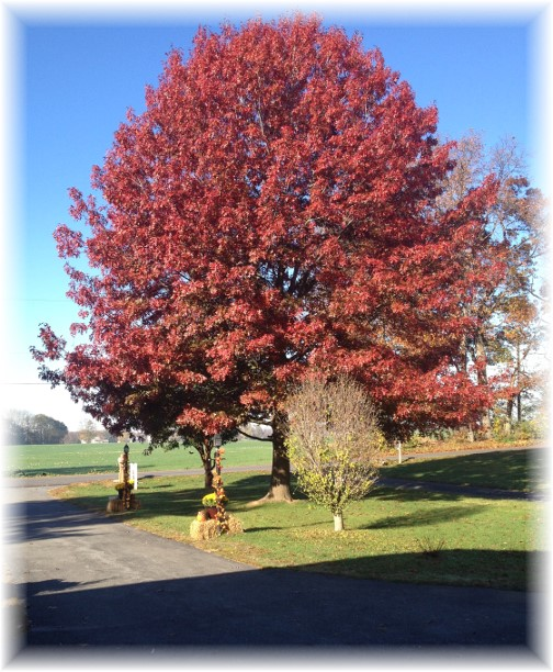 Pin oak in our front lawn 11/3/15
