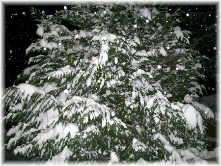 Evergreen tree covered with snow at night 12/19/09