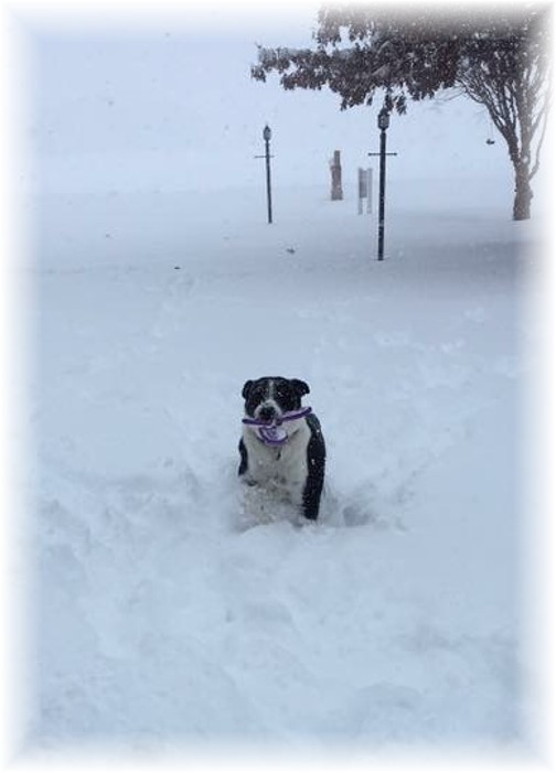 Mollie playing in snow storm 1/23/16