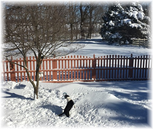 Mollie playing in backyard snow 1/24/16
