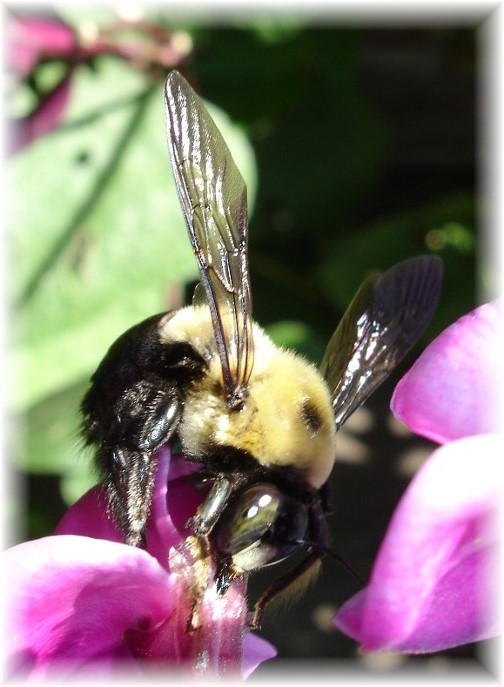 Bee (photo by Mike Book)