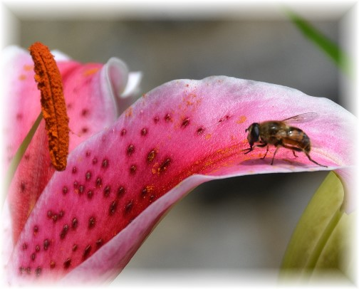 Bee on day lily (photo by Doris High)