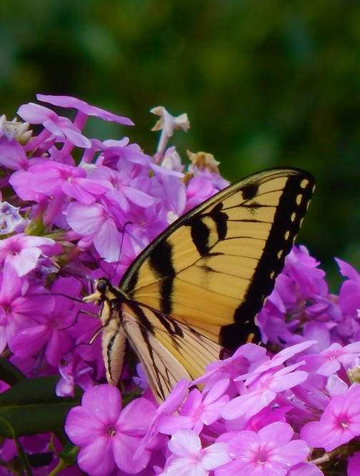 Eastern Tiger Swallowtail butterfly photo by Ester in our flower garden