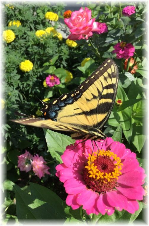 Swallowtail Butterfly in flower garden 8/6/15