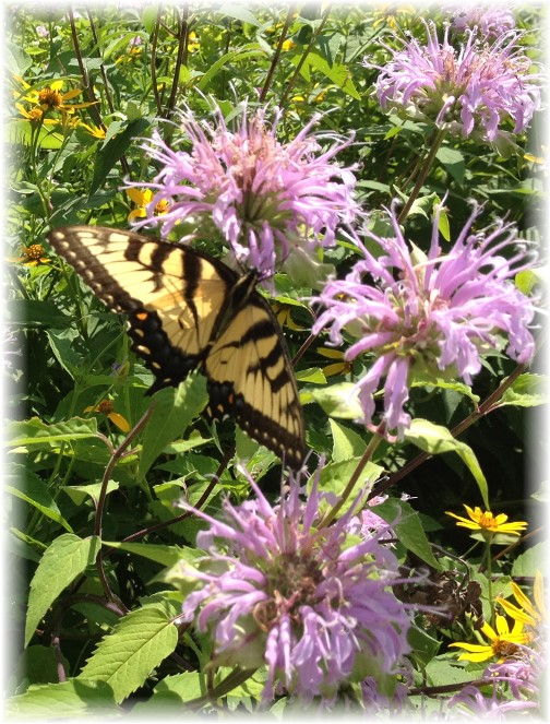 Butterfly in Poconos 5/20/15