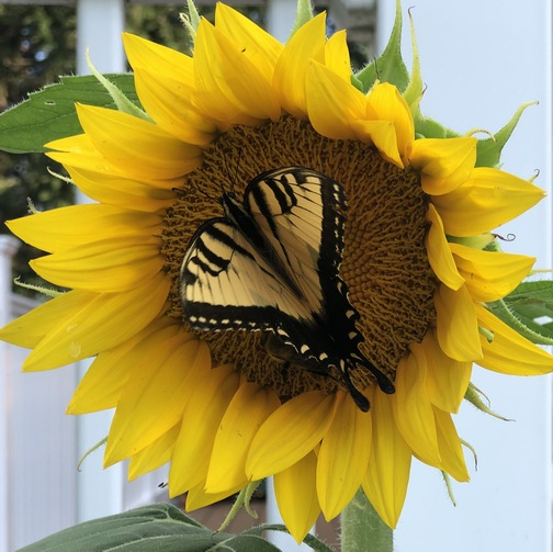 Butterfly on sunflower 8/1/19 (photo by Ester)