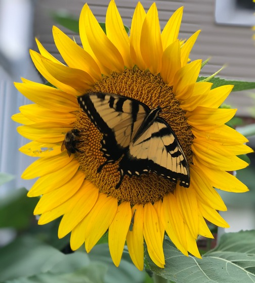 Butterfly and bee on sunflower 8/1/19 (photo by Ester)
