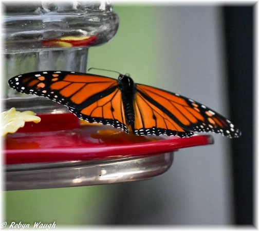 Monarch Butterfly (photo by Robyn Waugh)