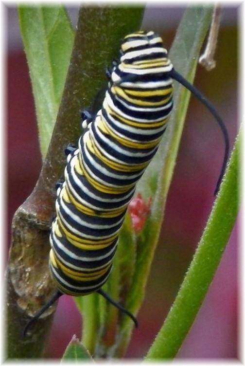 Looting caterpillars 8/28/17 (Ester Weber)