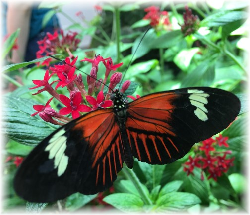 Hershey Gardens butterfly 9/5/17