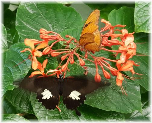 Hershey Gardens butterflies 9/5/17