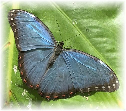Hershey Gardens butterfly 5/29/18