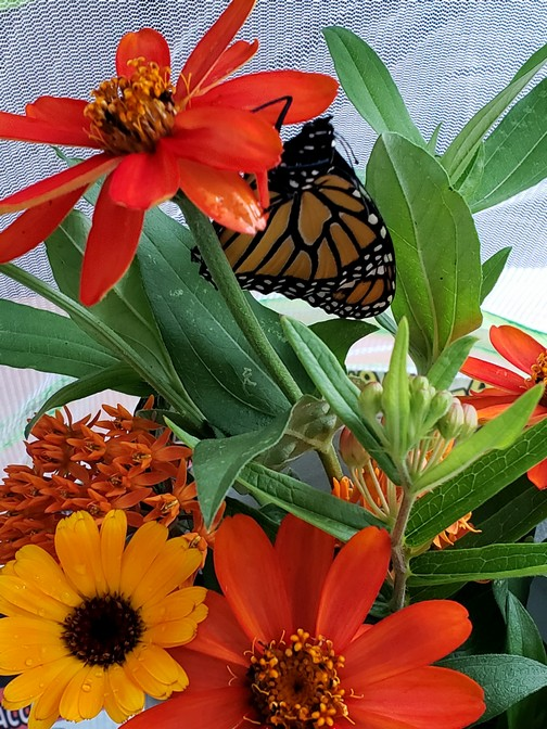 Monarch butterfly 8/7/19 Photo by Ed Carocci