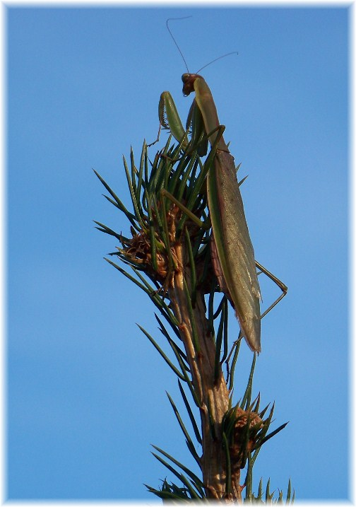 Preying Mantis (photo by Nancy Martin)