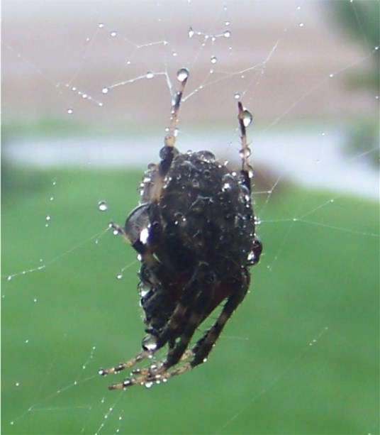 Spider clinging to web in heavy rain