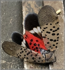 Spotted lanternfly 9/21/18 (Click to enlarge)