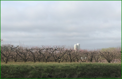 Cherry Hill orchards 4/12/19 (Click to enlarge)
