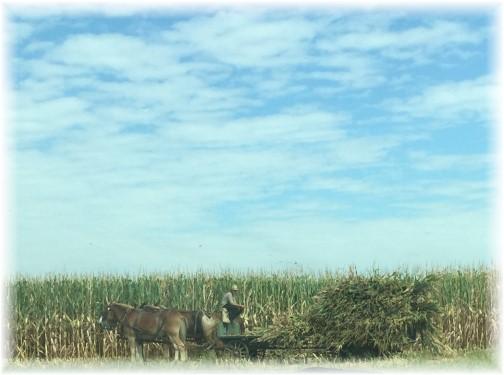 Amish corn harvest 9/9/15