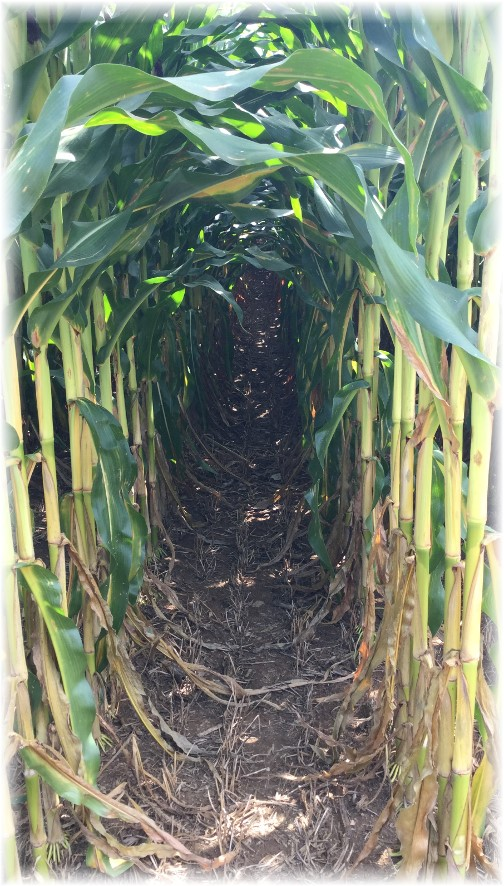 Looking down through rows of corn, Lancaster County PA 8/26/15