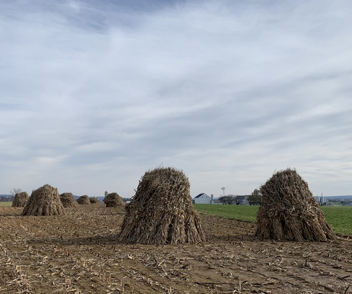 Corn shocks in Lancaster County, PA 11/14/19 (Click to enlarge)