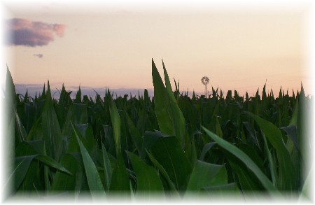 Field of corn with silo
