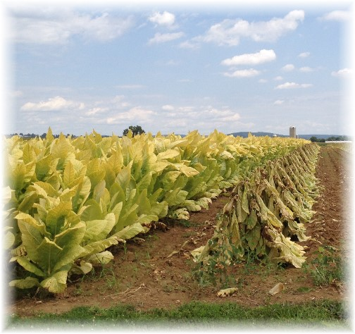Lancaster County tobacco crop 8/14/14