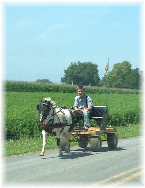 Mennonite boy on miniature horse-drawn cart 7/23/15